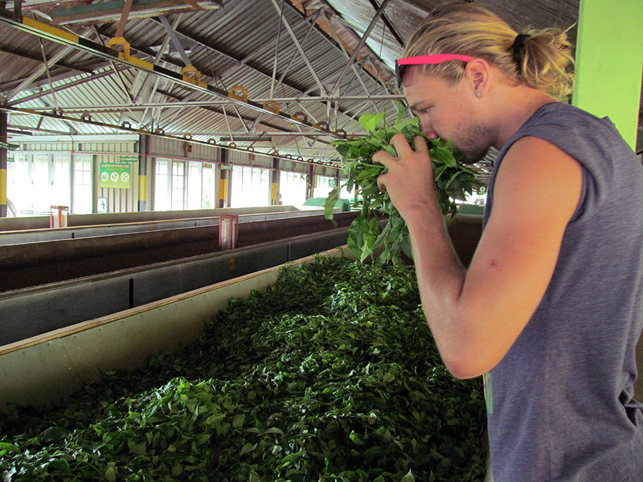 Conveyor belt at a tea factory in Sri Lanka